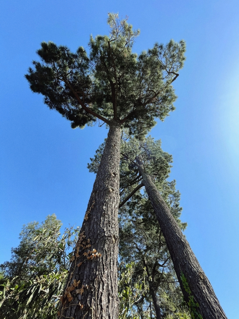 Looking up at two trees